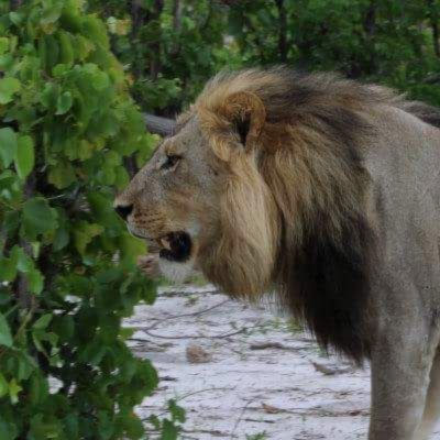 Lion in Moremi